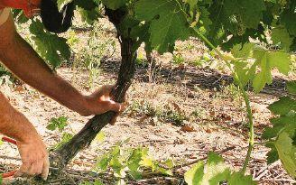 Le domaine - La vigne